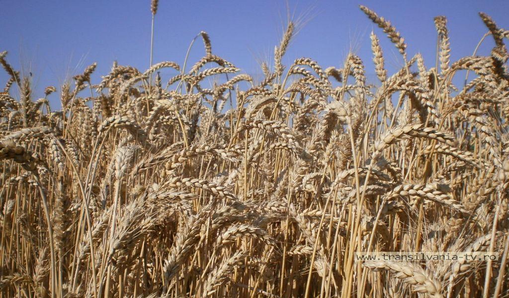 Producții record la cereale; catofii sunt mari, frumoși și sănătoși