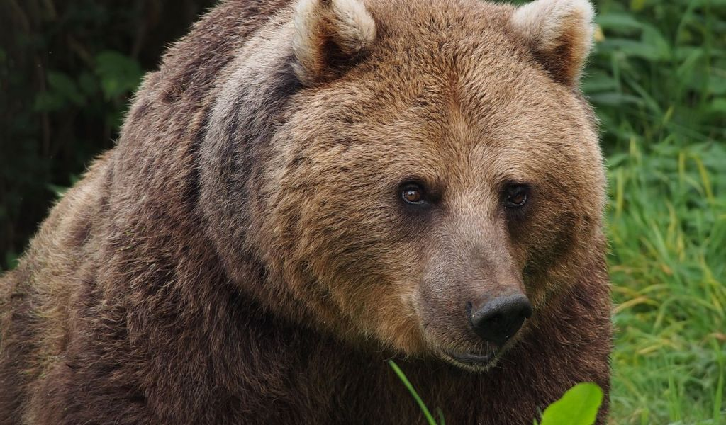 Cioban  atacat de urs în timp ce păștea oile